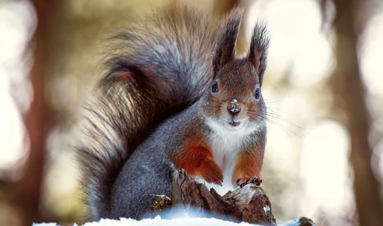 зими, як, готуються, білка, звірі, белки, готується, білки, цікаво, нас, проводять,