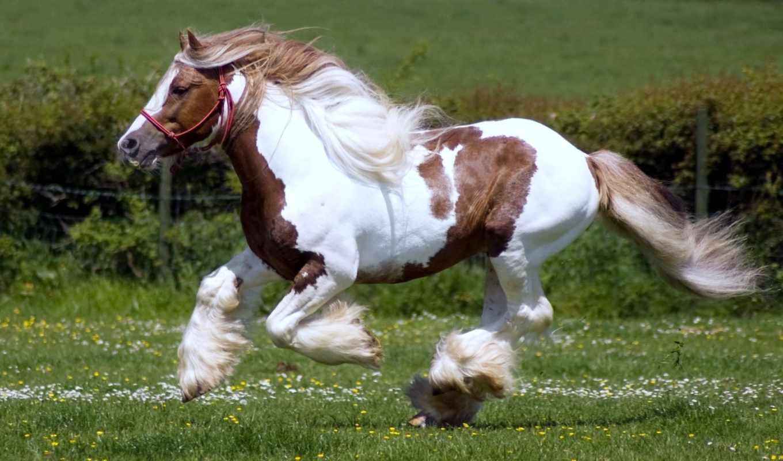 обои, конь, лошадь, фриз, порода, фото, шайр, шайр
