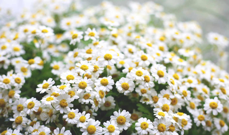 ромашки, цветы, макро, высоком,