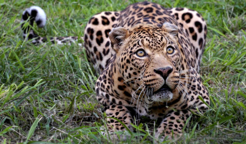 леопард, леса, zhivotnye, влажные, переменная, являются, может, но, природа, леопарды, леопардов,