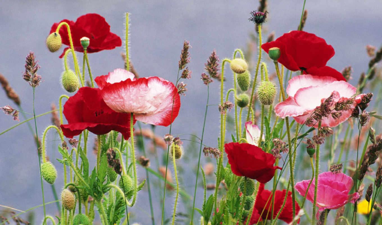 маки, цветы, лето, трава, poppy, flowers, poppies, смотрите,