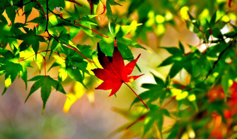 maple, leaf, листья, осень, макро, desktop, канада, яркие,