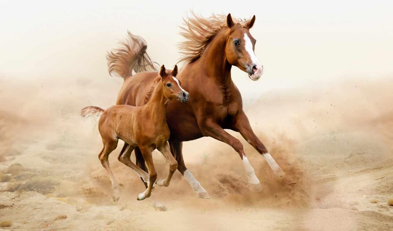 лошадь, white, arabian, лошади, жеребенок, песок,