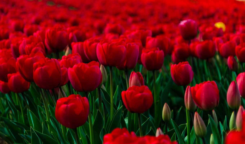 макро цветы красные природа тюльпаны  № 3286354 без смс