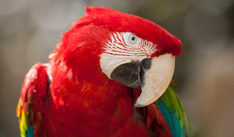 птицы, папуги, papuga, red, попугай, птиц, жұмыс, птахів, яких,