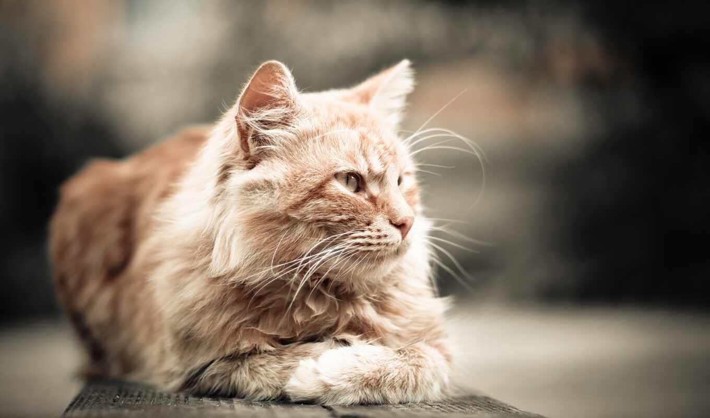кот, sit, white, картинка