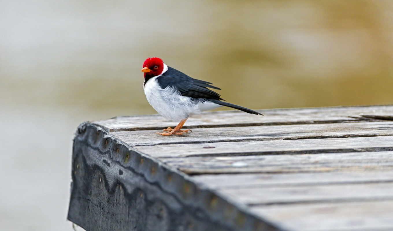 czerwona, główka, ładny, ptaszek,