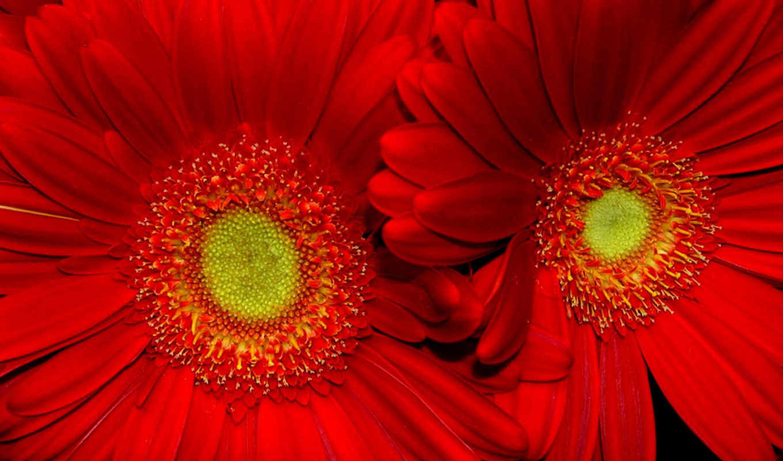 цветы, красные, flowers,