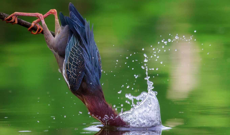 zhivotnye, кваква, американская, зелёная, добавлено, птица, обоях, ago,