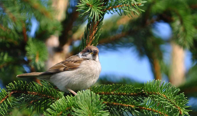 воробей, ёль, сидит, ветка, природа, птица, birds, hintergrundbilder, best, spring, животные, tree, pine, картинка,