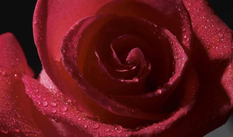 роза, роса, лепестки, капли, бутон, цветы,