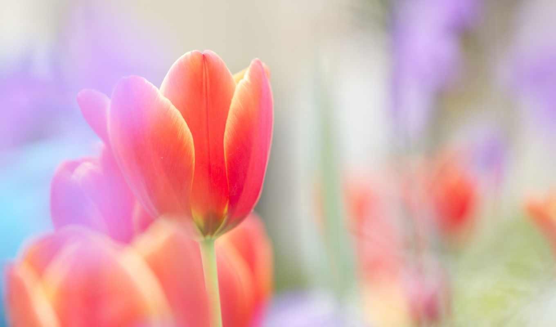 тюльпан, red, цветы, яркий, scarlet, бутон,