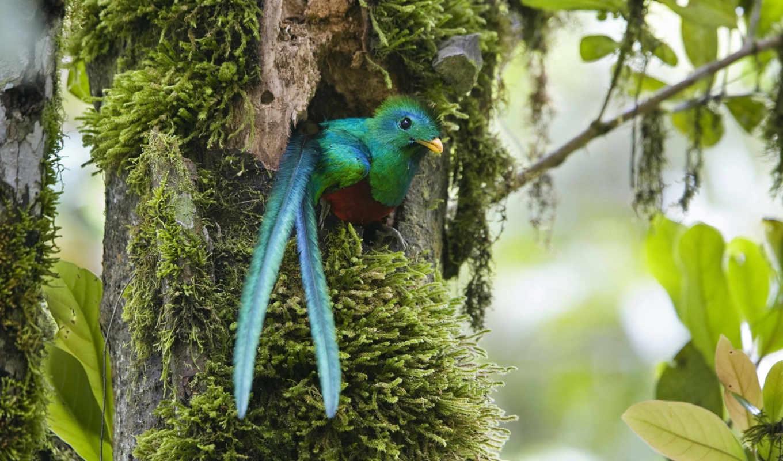квезаль, птица, свободы, священная, mocinno, ацтеков, pharomachrus, lat, символом, кетцаль, является,
