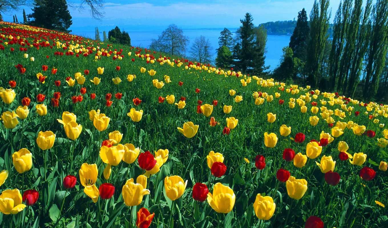 pantalla, fondos, paisajes, flores, imagenes, tulipanes, naturales, escritorio,