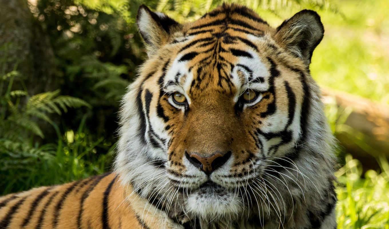 тигр, siberian, владимир, zoo, dartmoor, desktop, tigers,