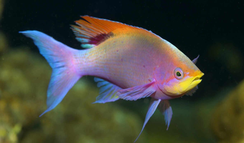 fish, данио, розовый, розовая, vissen, рыбки, tropische,