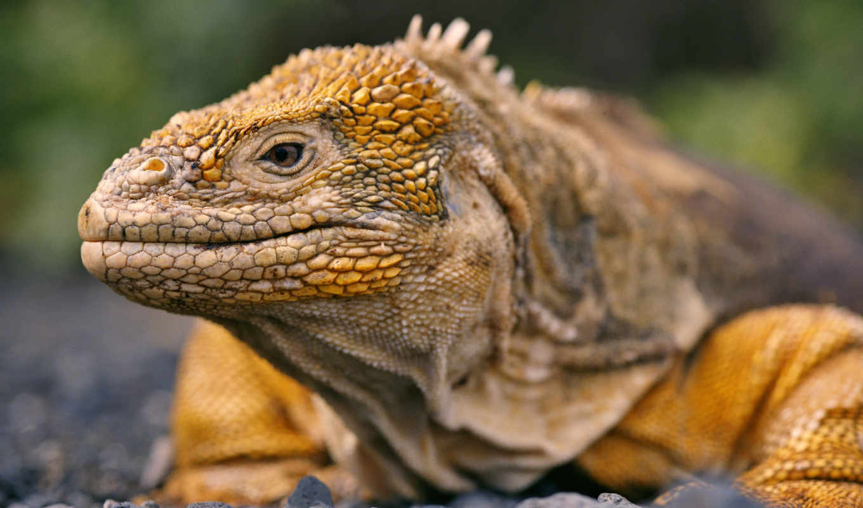 reptiles, reptile, ecuador, animals, you, best, pets, iguana,