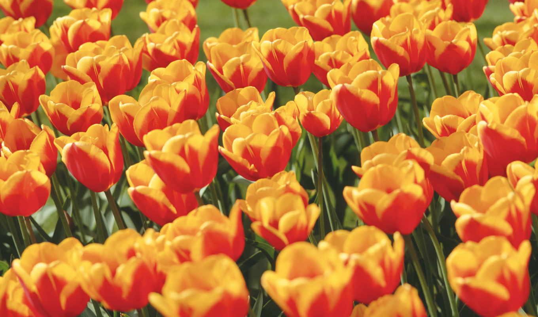 tulip, flowers, fotoğraf, plant, september, wallpaper, цветы,