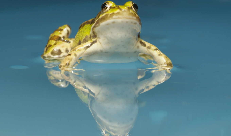 frog, жаба, water, животные,