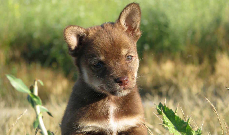 собаки, животные, картинка, фотография, лаппхунд, оленегонная, лайка, финская, зооклубе, финский, кошки,