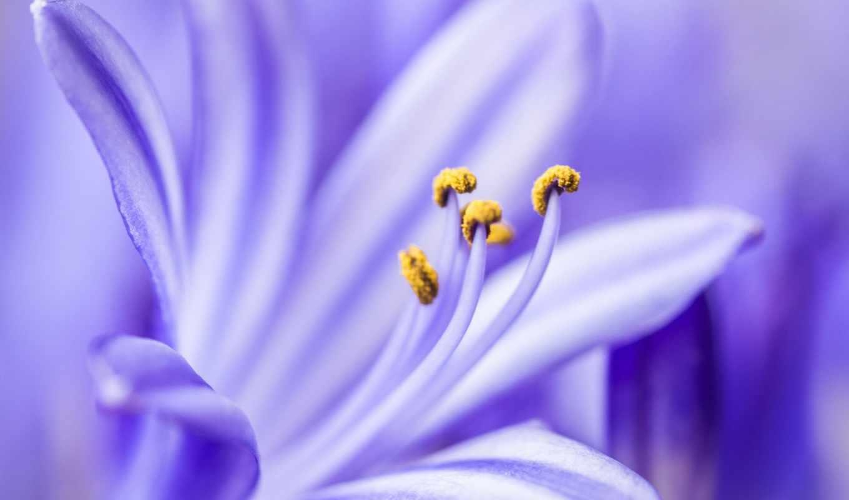 сиреневый, цветок, makro, лепестки,