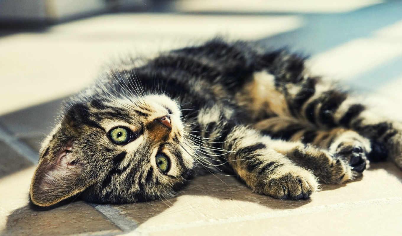 striped, кот, лежит, свет,Котенок,