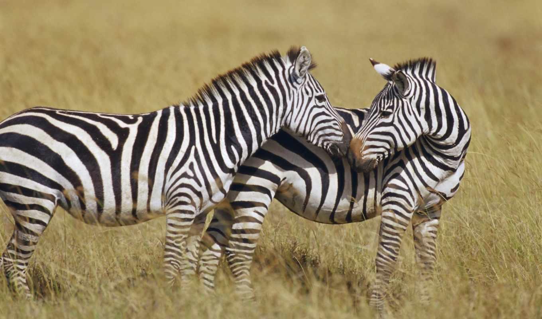 животных, зебр, stock, следы, zebra, макро, орнамент,