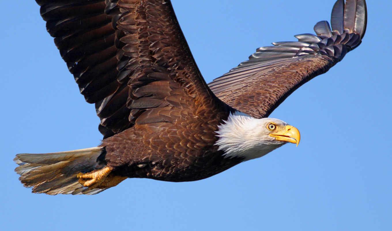 обои, птица, белоголовый, орлан, хищник, орел,