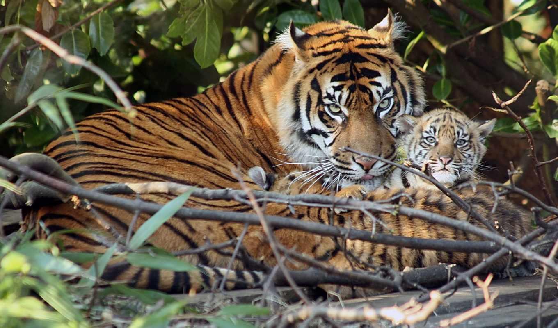 тигры, тигр, семья, красивых, животные, тигренок, тигрята,