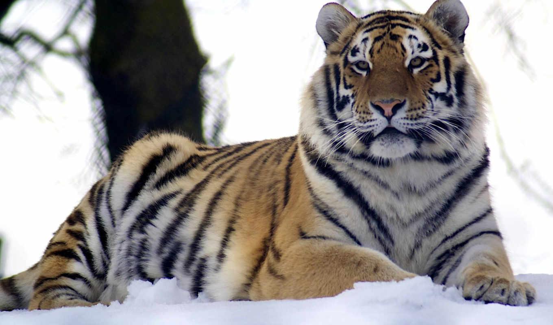 pulpit, tapety, тигр, tapet, zdjęcia, animals, tygrys, красивые,