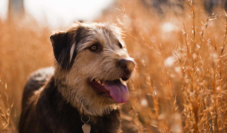 собака, порода, зерно, off, пытаясь, animal, vulnerable, туземец