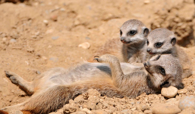 сурикаты, суриката, семья, животные, песок,