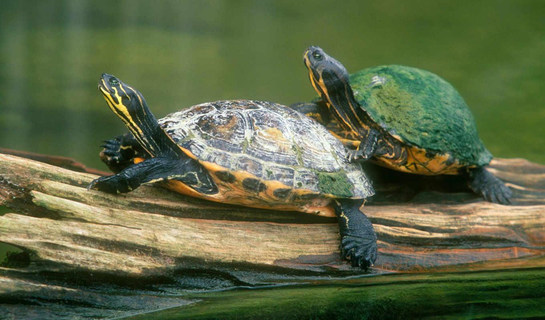 черепахи, животные, морские, черепаха,