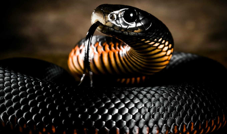 ,змея, черный язык, глаза, камни,