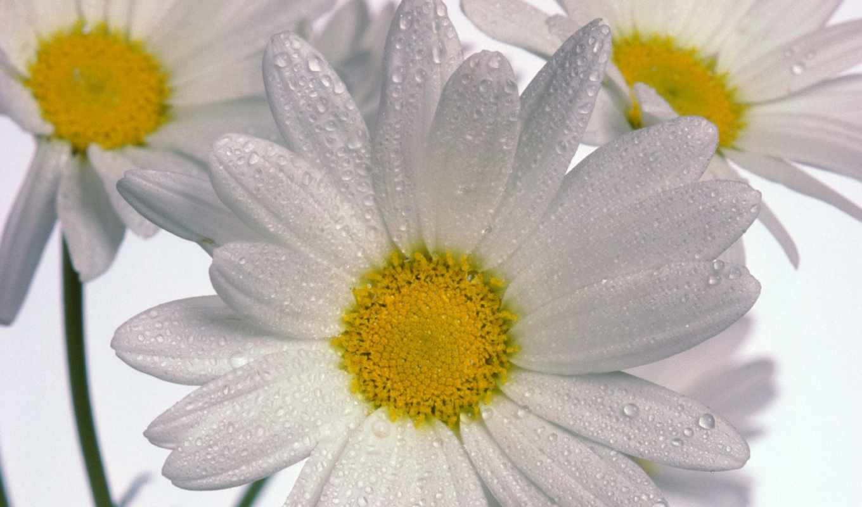 ромашки, нежные, ромашка, лепесточки, белая, цветов, цветы,
