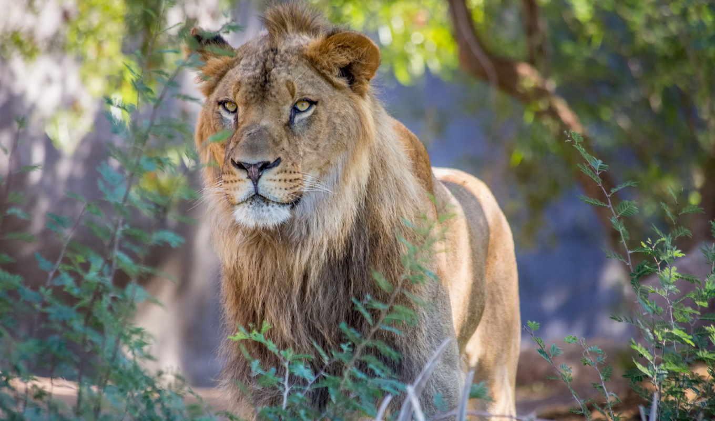 lion, king, зверей, грива, lions, львів, хищник, кот,