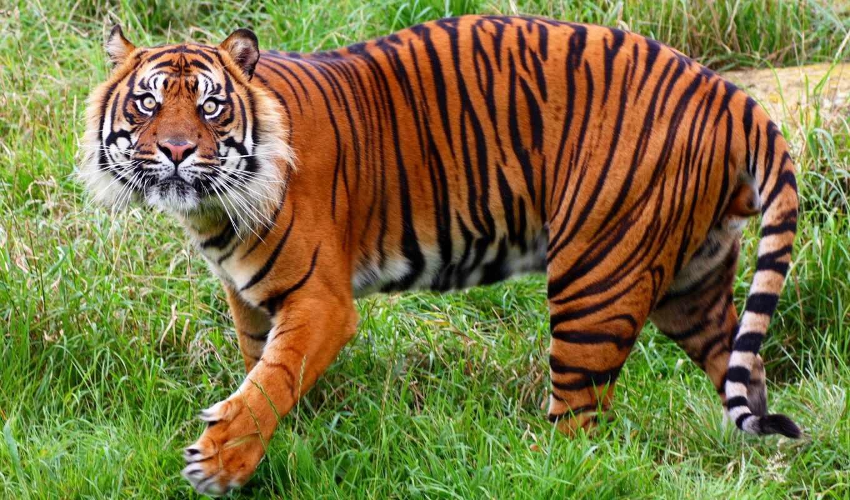 тигр, дикой, тигров, мире, является, природы, интересные, тигры, фонду, находятся,