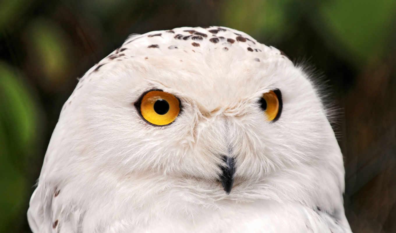 owl, животные, portrait, snowy, птицы, animal, белая,