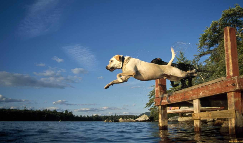 labrador, прыжок, воду, воде, собаки, retriever, но, приучить, лабрадоры, psa, фотографий,