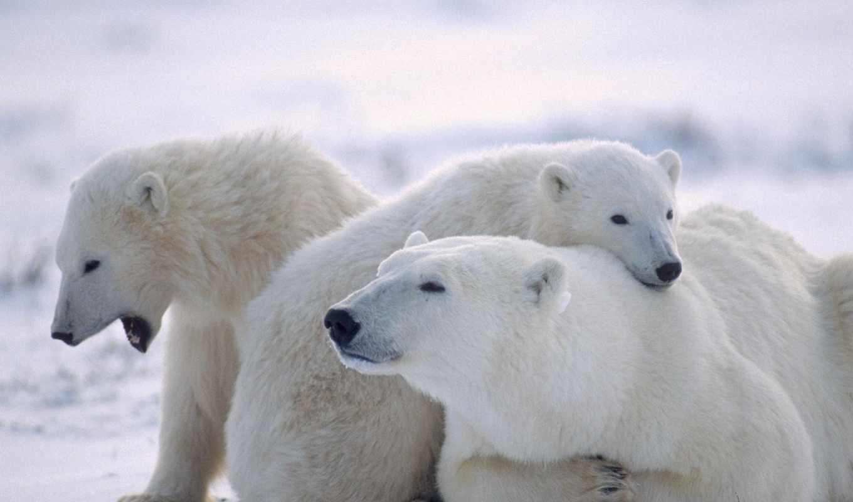 белые, медведи, медведь, медведей, белых, фотографии,