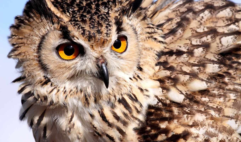 сова, глаза, птица, перья, взгляд, хищник, филин, color,
