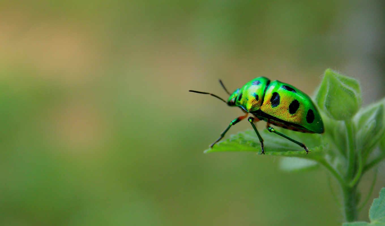 макро, жук, насекомое, коровка, божья, трава, spotted, зелёный, картинку, огурец,