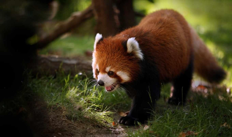 ,красный, енот, панда