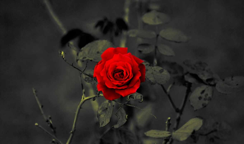 цветы, красный, роза,