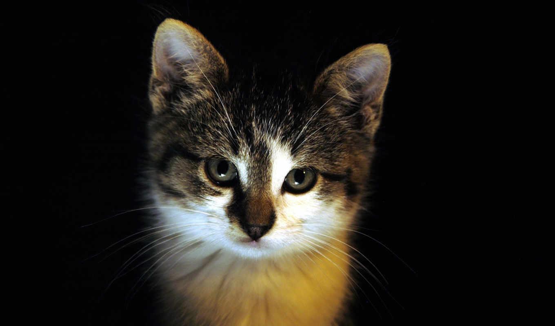 чёрного, котята, шотландские, fone, взгляд, окраса, котенка, глазами,