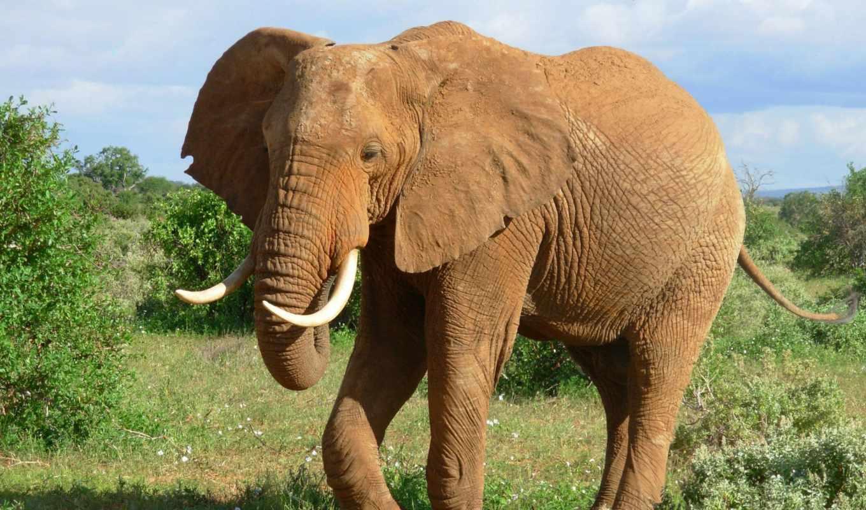 слон, animal, animals, images, pictures,