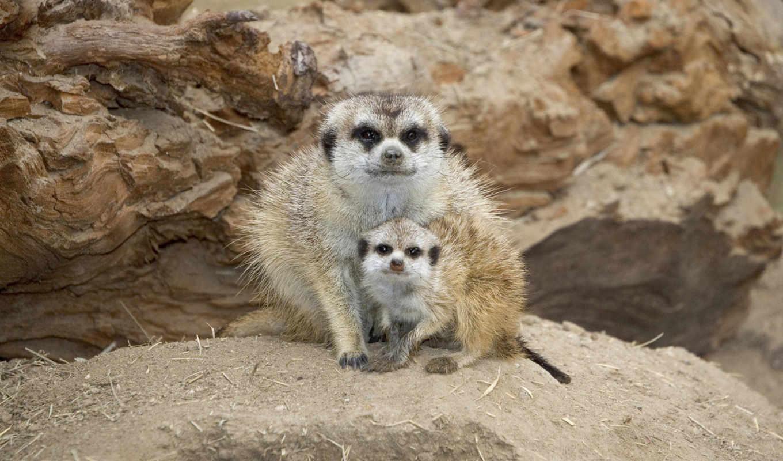 animals, baby, сурикаты, kenya, сурикаты, zhivotnye, яndex, зверьки,