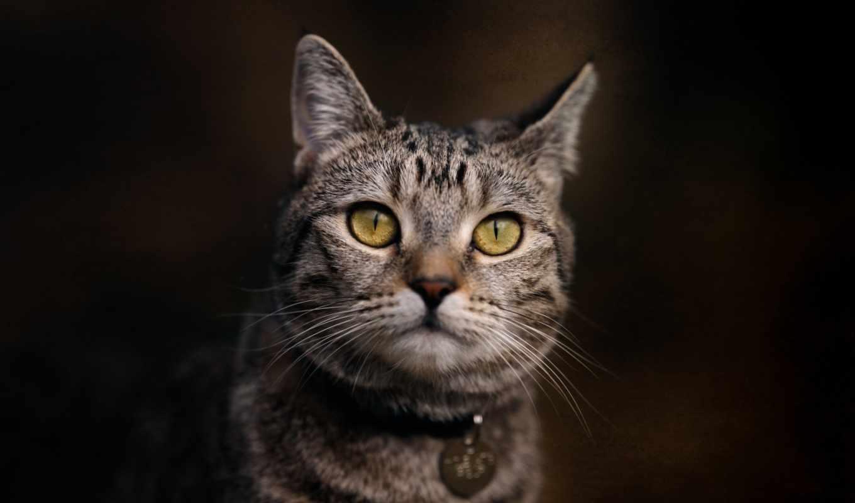 кот, domestic, kočka, фото, tabby, cymric, cute,