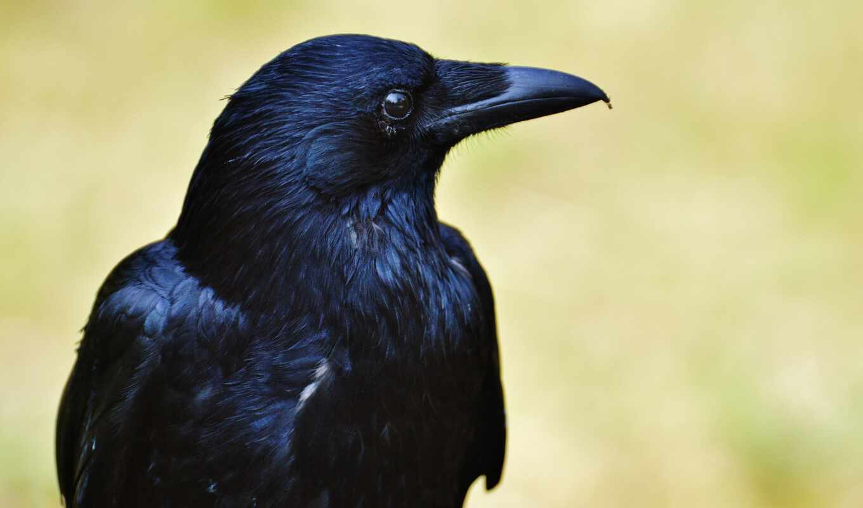 buring, ворона, птица, nama, warna, hitam, jenis, animal, indonesia, yang, gambar