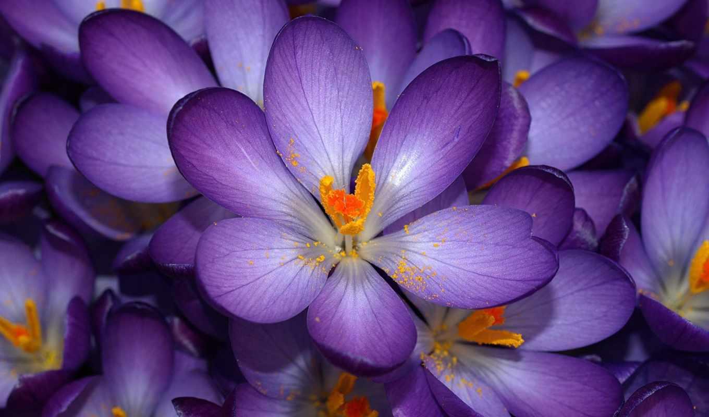 purple, цветы, crocus, фиолетовые, nature, зовут, сиреневые, знаю, их, flowers, sonbahar, mor, çiğdem, autumn,